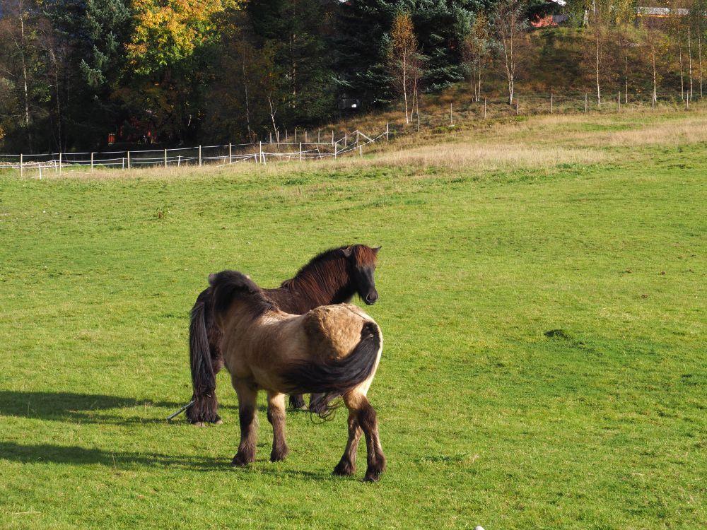 Pferde, Norwegen
